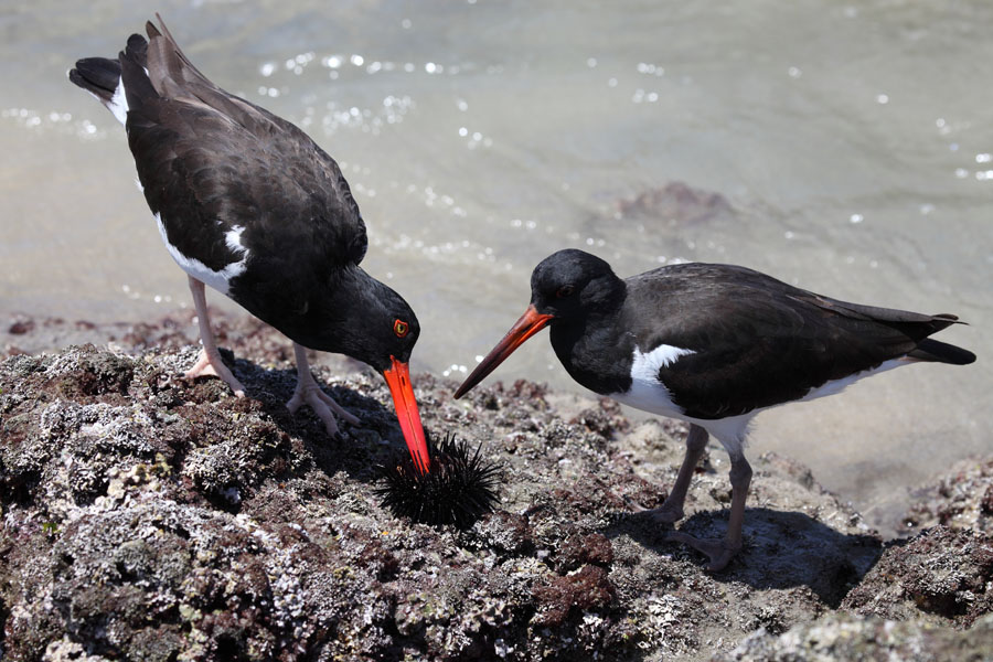American Oystercatchers eating Sea Urchin