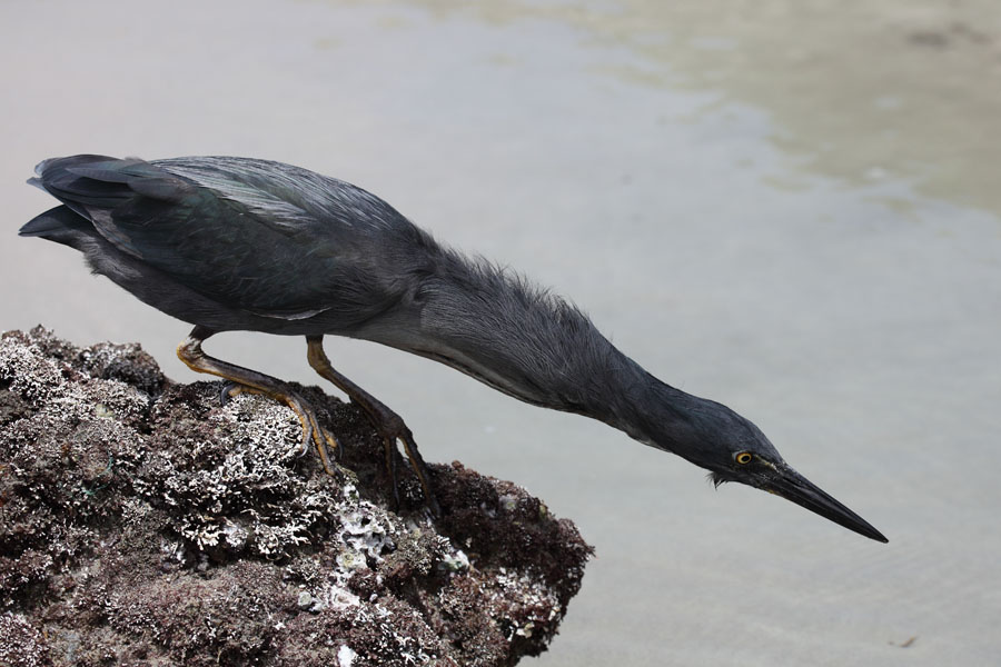 Lava Heron poised to strike, Galapagos