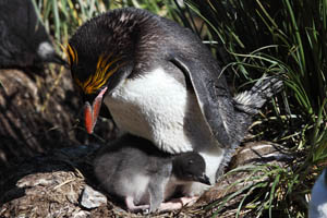 Macaroni Penguin with Chick