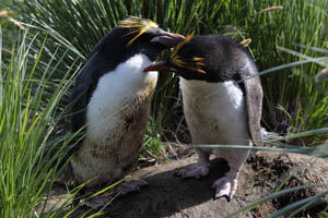 Macaroni Penguins Allopreening