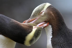 Yellow-Eyed Penguin Allopreening