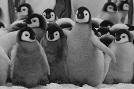 Photo Emperor Penguin Chicks